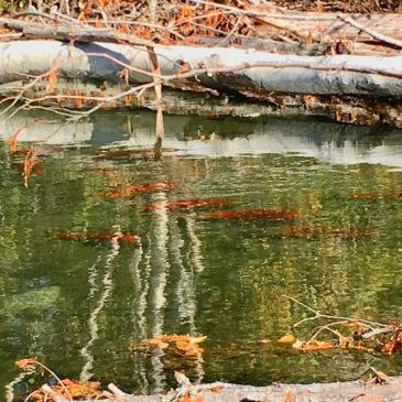 Adams River